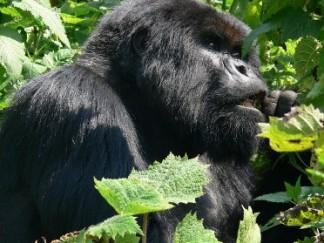 gorilla-trek-324x243